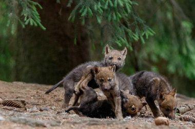 bayerischer wald wölfe