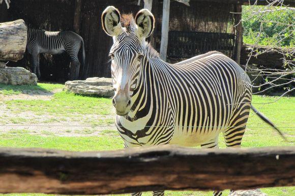 Zebra Zoo Leipzig