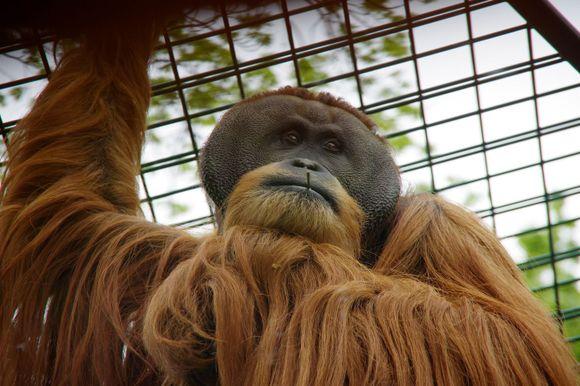 Orang-Utan im Dresdner Zoo