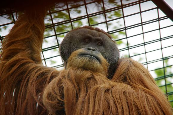 orangutan at the Dresden zoo