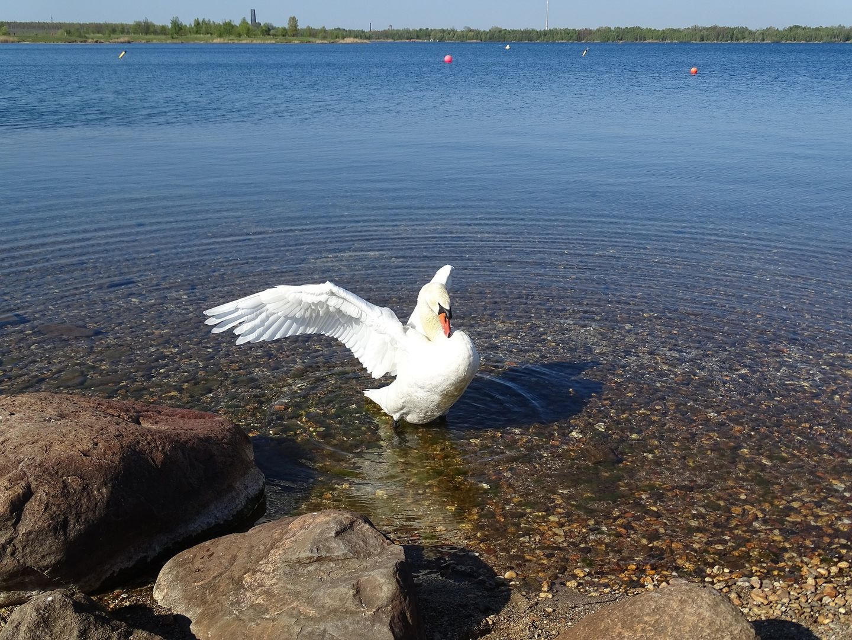 Swan at the Cospudener Lake