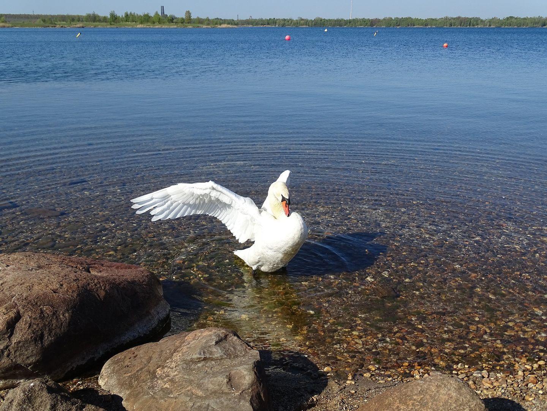 Schwan am Cospudener See