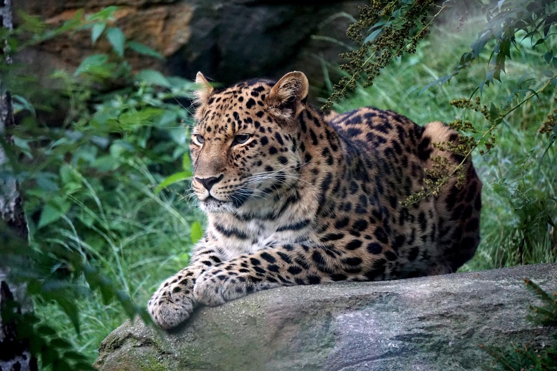 Leopard Zoo Leipzig