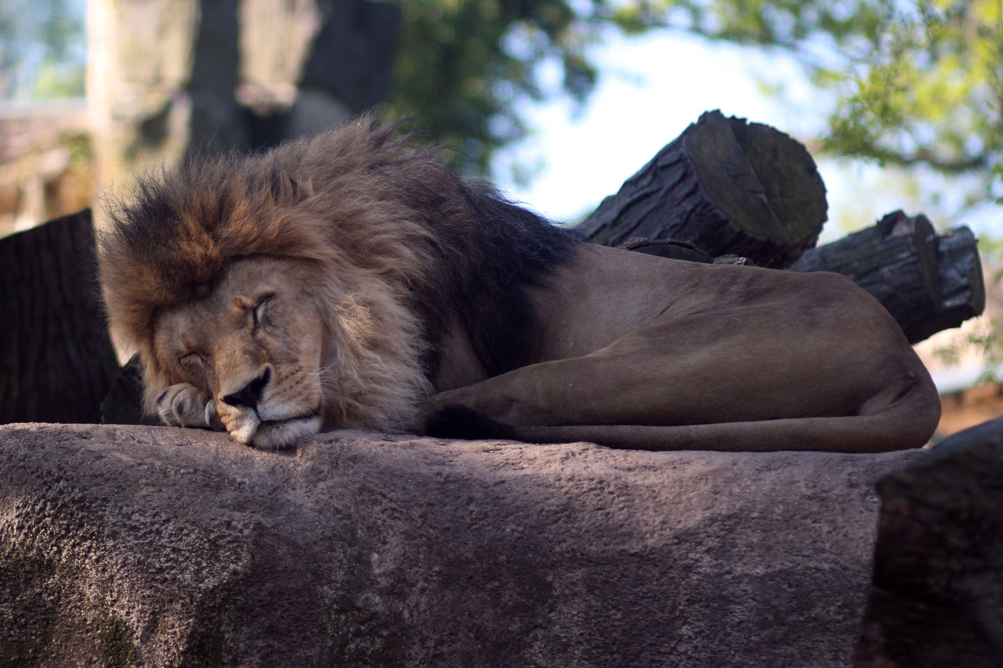 lion at the Dresden zoo
