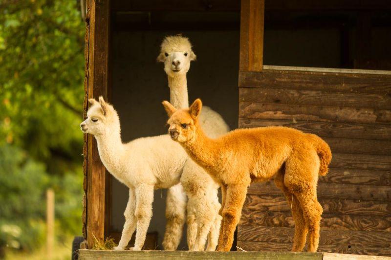 Familienurlaub Alpaka Fütterung